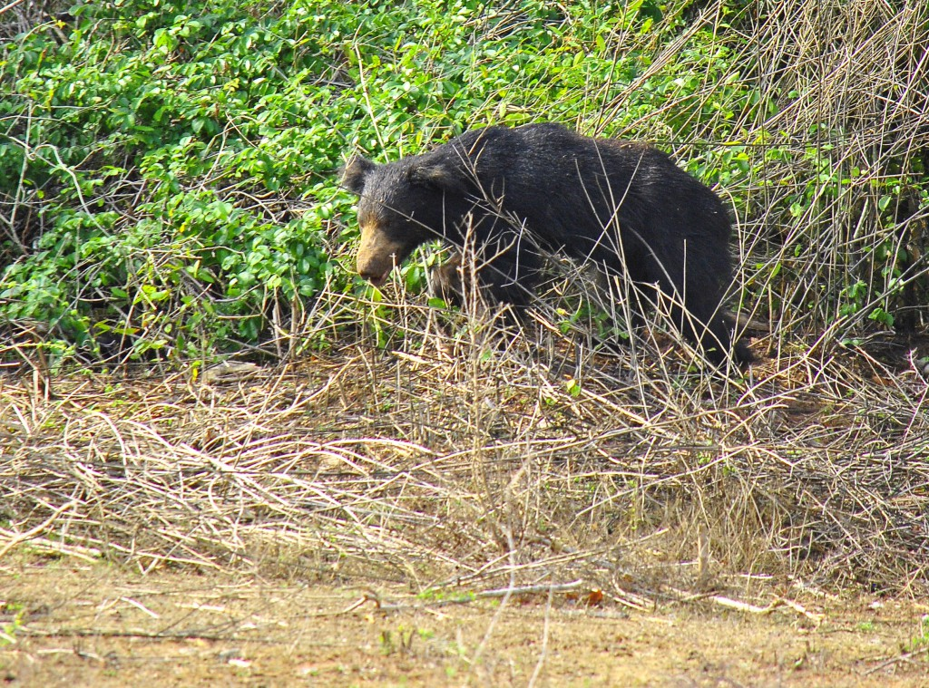 Ours, Parc National de Yala, Sri Lanka