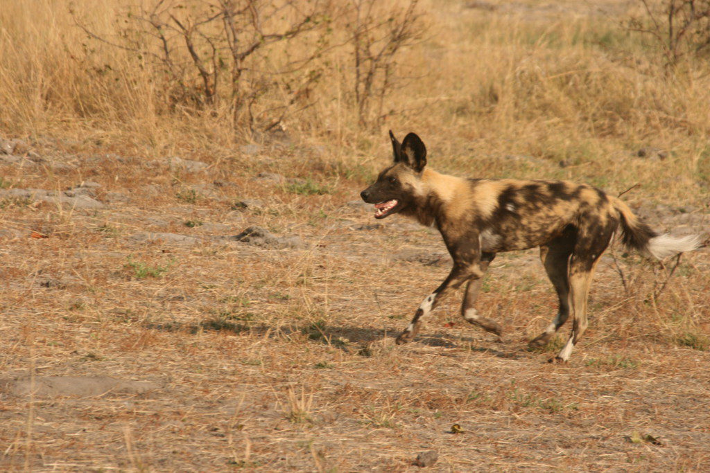 Wild dogs (Lycaon)